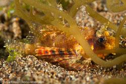 BD-140325-Dumaguete-3753-Pteroidichthys-amboinensis.-Bleeker.-1856-[Ambon-scorpionfish].jpg